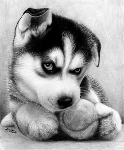 Выбор щенка хаски