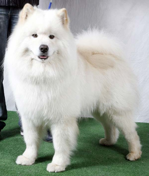 самоед порода собак фото