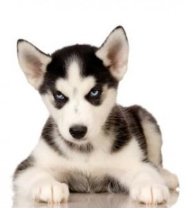 Siberian Husky puppy in front of a white background