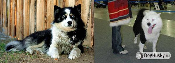 Якутская лайка  (порода признана РКФ в 2005 году и пока не признана МКФ)