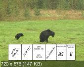 Соревнования лайки, работа по медведю
