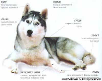 Стандарт породы Сибирский Хаски