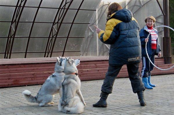 Дрессировка Сибирских Хаски