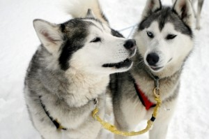 Husky_Svalbard