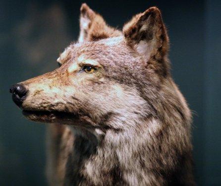 Ньюфаундленский волк