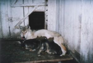 Щенки волкособа третьего поколения 75% вольчьей крови.