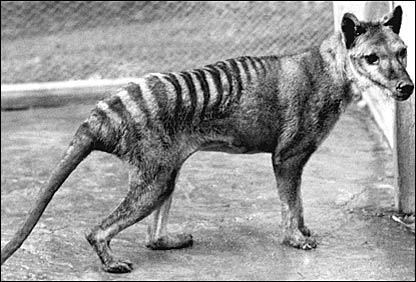 Тасманский сумчатый волк