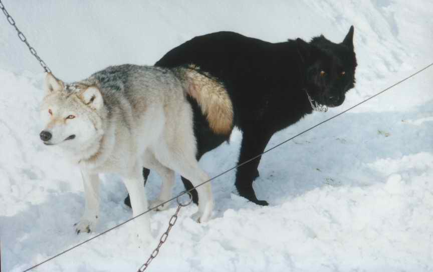 Вязка волчицы найды и черной немецкой овчарки Барон