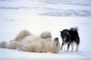 Полярная дружба Сибирского Хаски и Белого Медведя