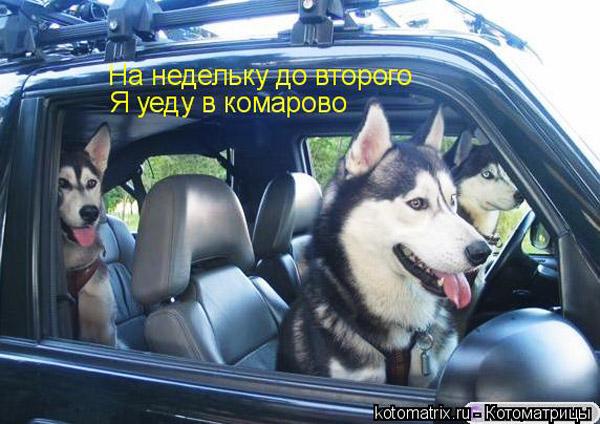 Прикольные фото с Сибирскими Хаски
