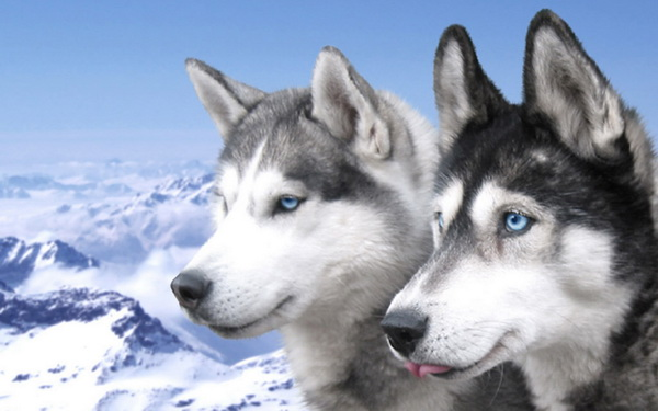 Обои Сибирские Хаски Wallpapers Syberian Husky