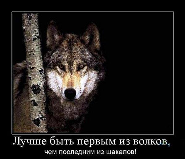 Демотиватор Сибирский Хаски