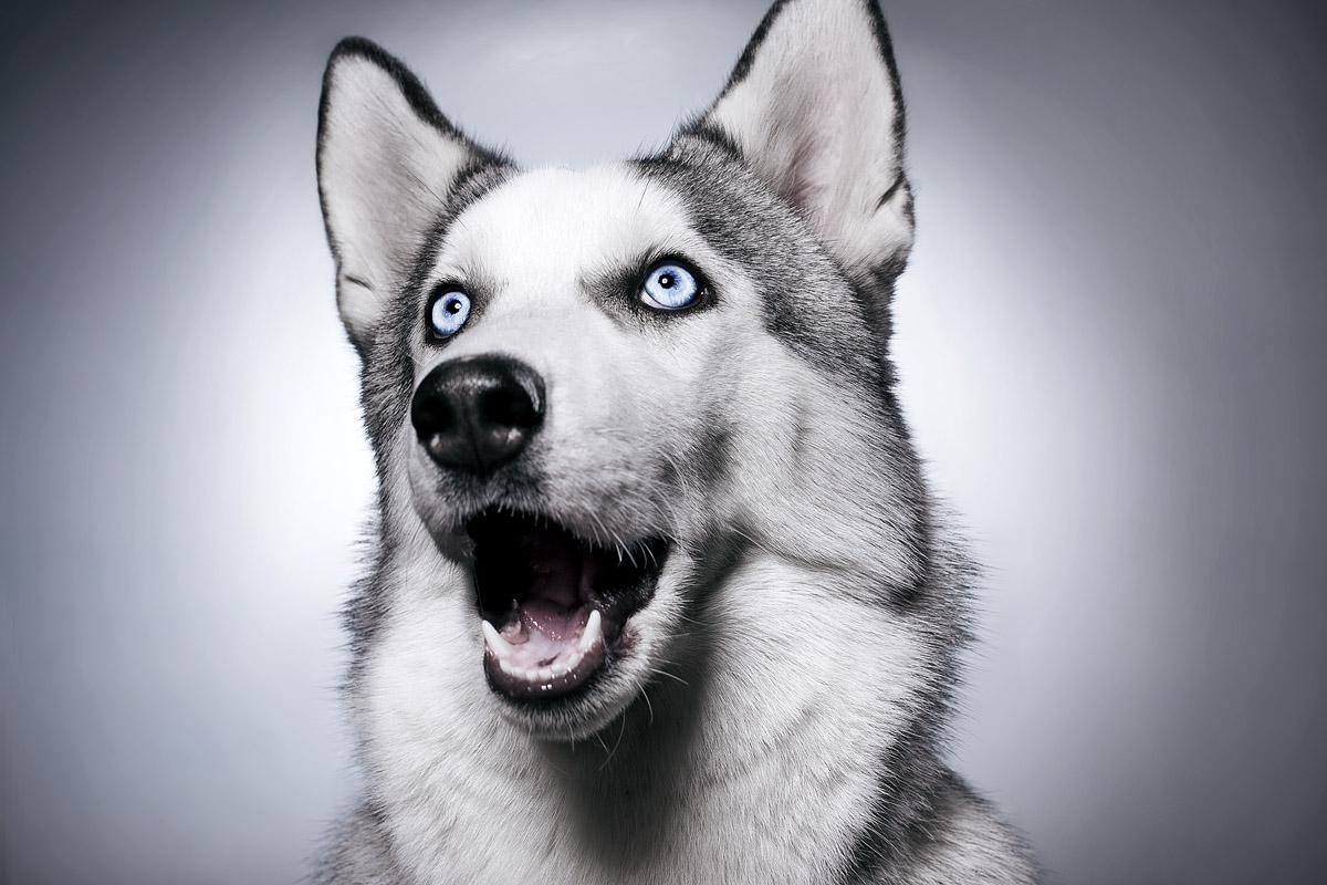 Сибирский Хаски, сайт о породе | Собаки хаски