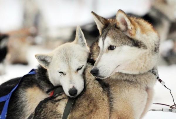 Фотографии Сибирский хаски фото