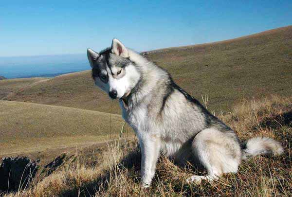 Фото Сибирских хаски Фотографии