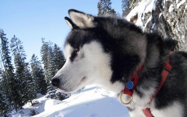 Фото Сибирские хаски Фотографии