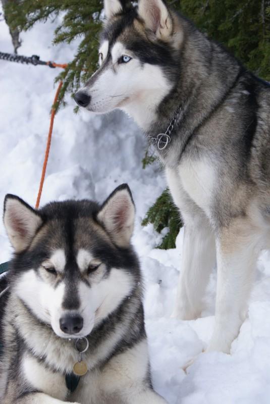 Сибирские Хаски фото