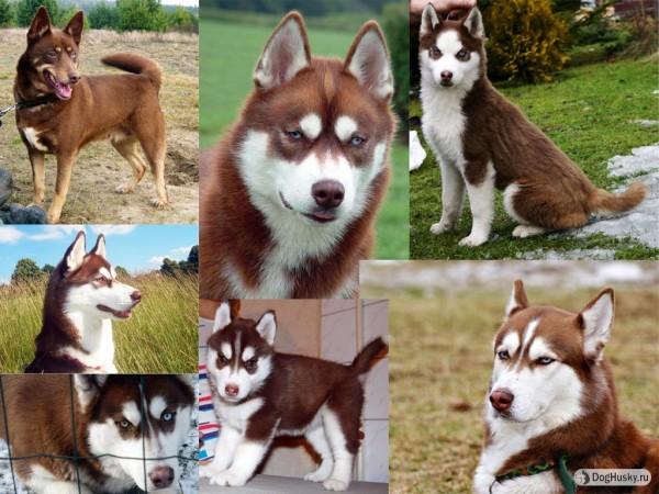Cooper color Siberian Husky