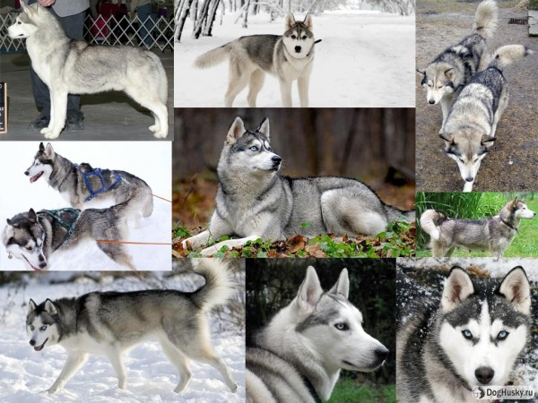 Grey color Siberian Husky