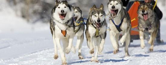 'Сибирские Хаски фото в упряжках (35 фото)