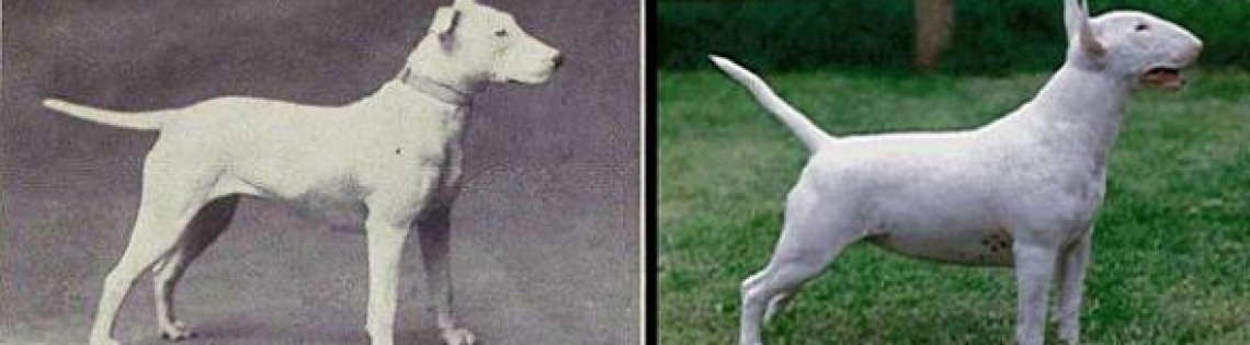 'О «чистокровности» собак