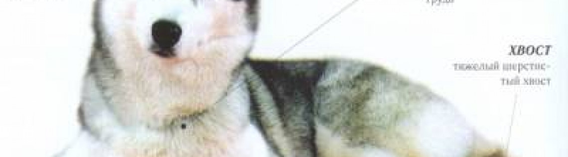'Стандарт породы Сибирский Хаски AKK