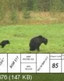'Соревнования лайки, работа по медведю