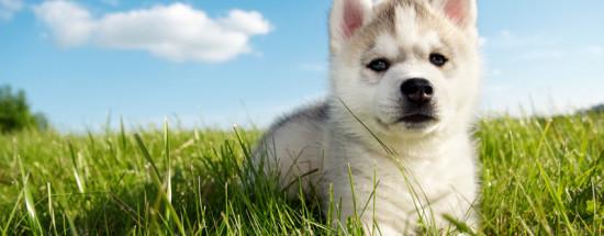 'Сибирские Хаски щенки (40 фото)