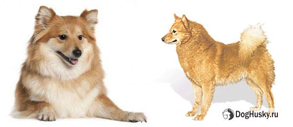 Финский шпиц (финская птичья собака)