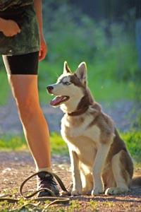 Дрессировка щенка Сибирского Хаски
