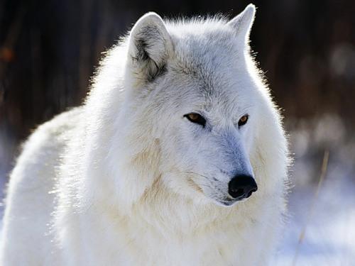 Арктический (Полярный) волк