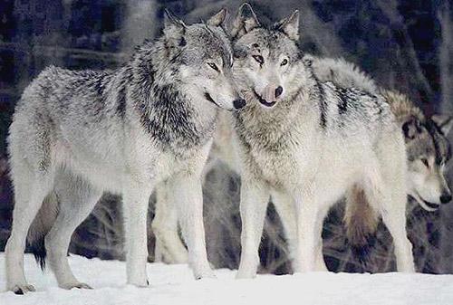 Кавказский волк