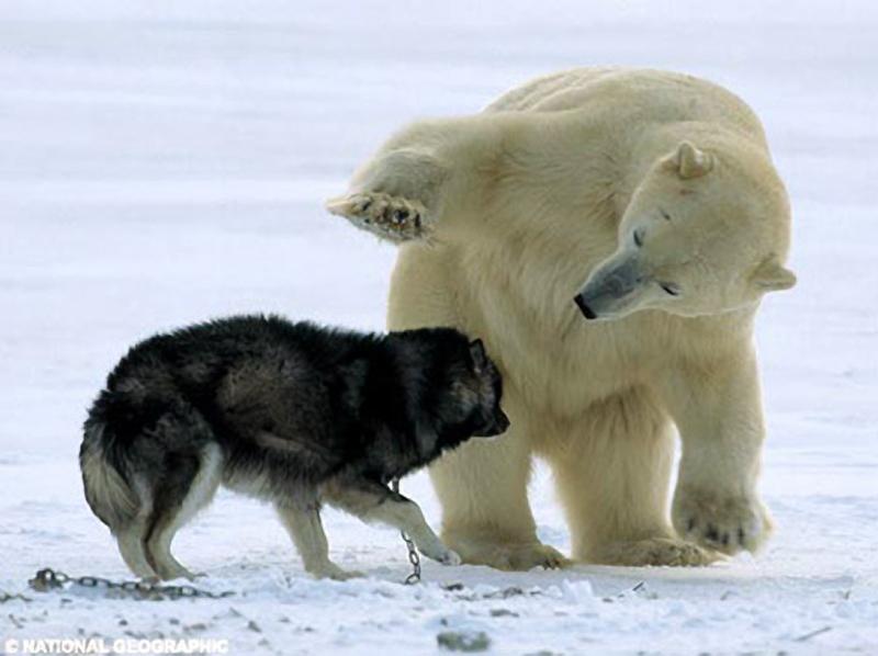 Сибирский Хаски и Белый Медведь