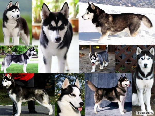 Black and White color Siberian Husky
