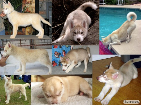 Light-brown, Pale Beige color Siberian Husky