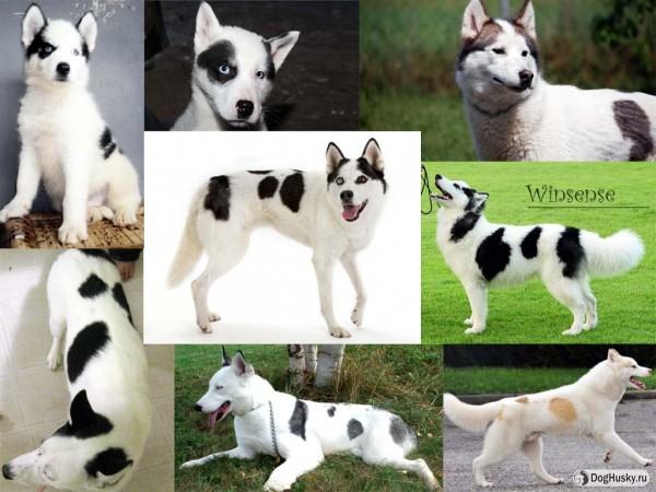 Piebald or Pinto color Siberian Husky