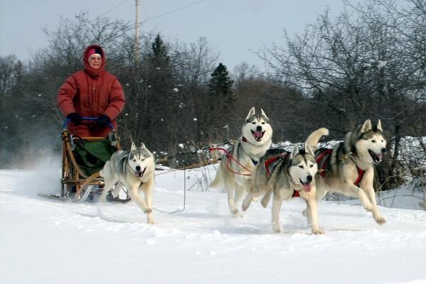 Сибирские Хаски фото в упряжках