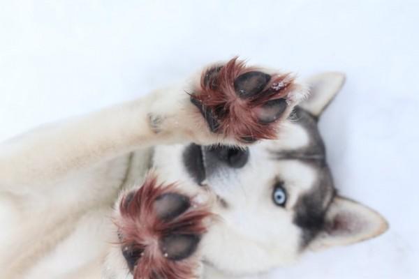 Фотографии Сибирских хаски фото