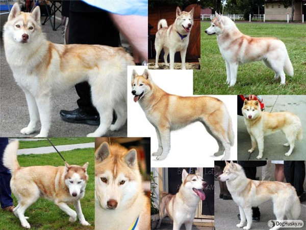 Light-red color Siberian Husky