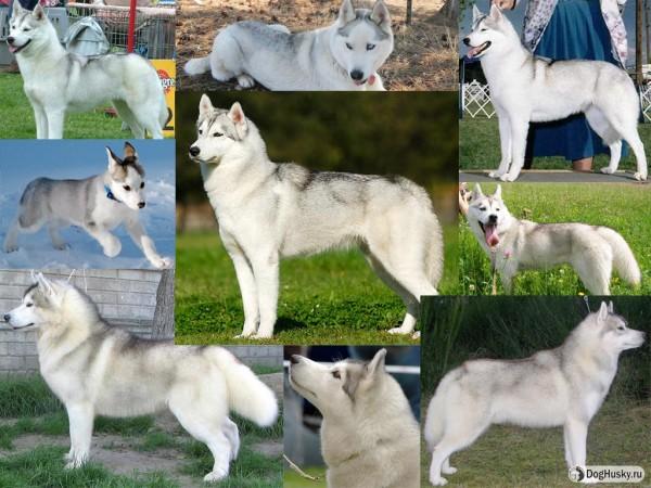 Silver color Siberian Husky