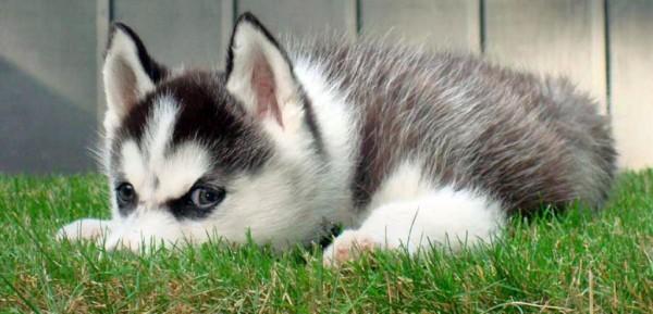 Сибирские Хаски щенки фото